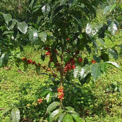 dawi_coffee_farm_ (1)