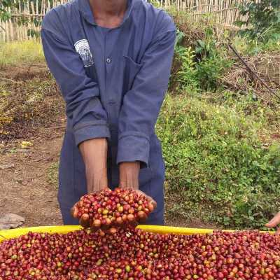 dawi_coffee_farm_ (10)