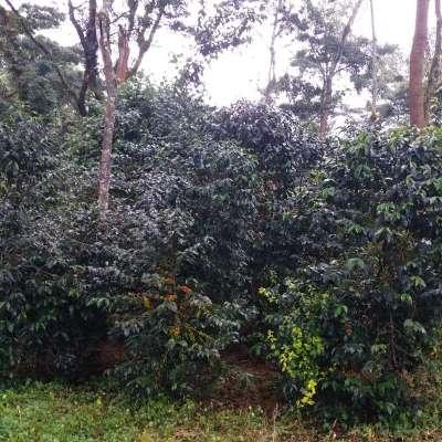dawi_coffee_farm_ (15)