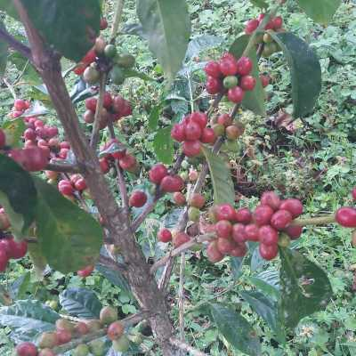 dawi_coffee_farm_ (17)