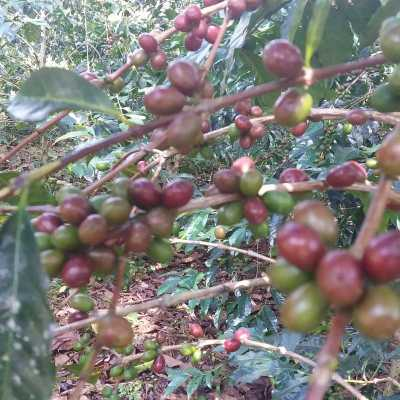 dawi_coffee_farm_ (18)