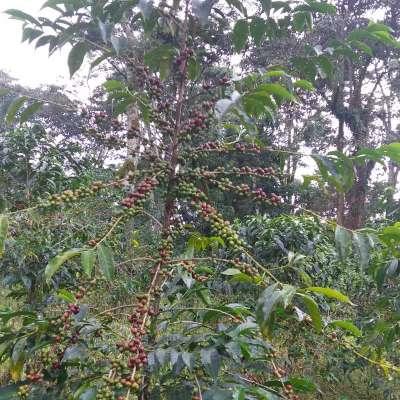 dawi_coffee_farm_ (2)