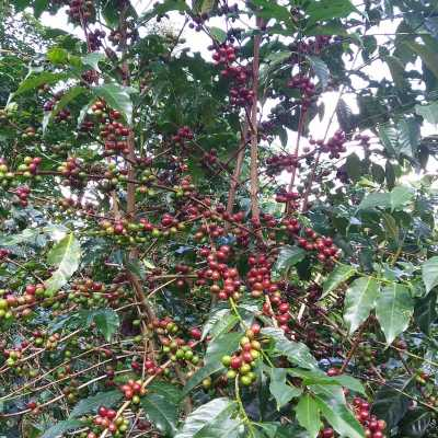 dawi_coffee_farm_ (4)