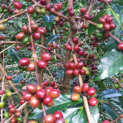 dawi_coffee_farm_ (5)