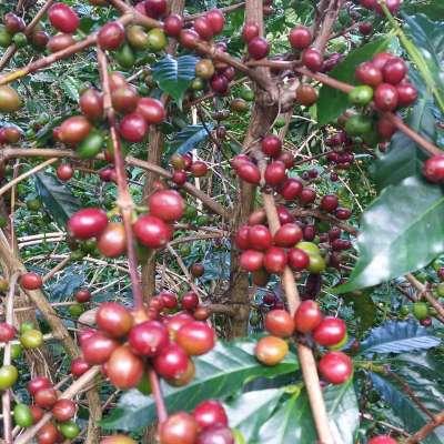 dawi_coffee_farm_ (5)